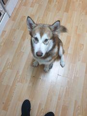 Husky sucht Neues Haus