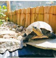 Chinesische Streifenschildkröte Weibchen