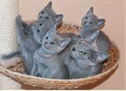 wunderschönen Russisch Blau Kitten zu