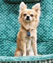 Langhaar Chihuahua Deckrüde Kein Verkauf