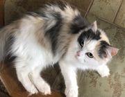 Tragende Maine Coon Perser Katze