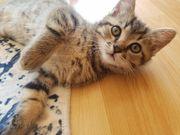 Katzen Babys abzugeben