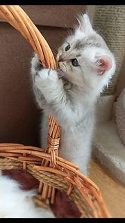 Kitten - Highland Fold-Bengal-Edelmix