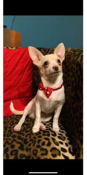 Top Angebot Chihuahua - mini