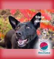 Stella - Schäferhundfreunde bitte aufpassen