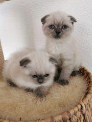 BKH Kitten Bluepoint
