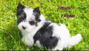 Zückersüße kleine Biewer Yorkshire Terrier
