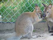 Bennett-Wallaby Känguru