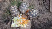 Verkaufe 3 griechische Breitrandschildkröten Testudo