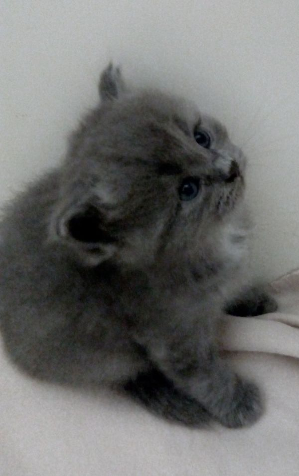 Perser Birma zuckersüße Kitten