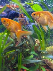 Aquarium Goldfische