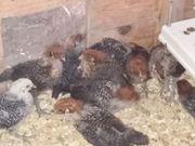 Hühnerküken westfälische Totleger Mixe