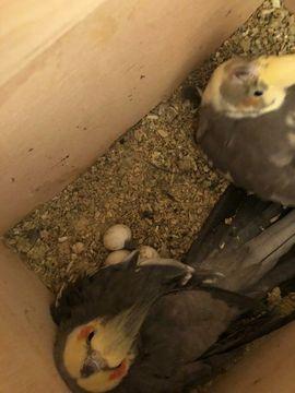 nympfensichich handaufzucht: Kleinanzeigen aus Weiden - Rubrik Vögel