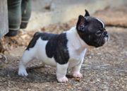 Liebend Französische Bulldogge blue