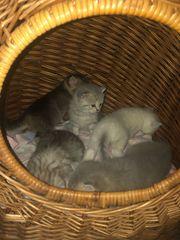 reinrassige bkh katzen suchen ihr