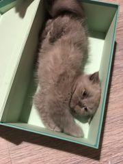 BKH Exotic Mix Kitten zum
