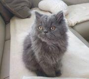 nur noch 1 Perser Kätzchen