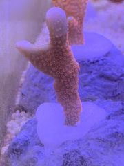 Montipora digita pink