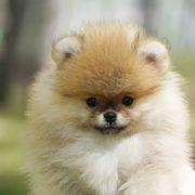 Entzückende Pomeranian Welpen