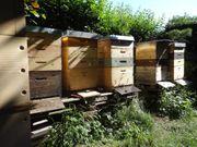 Wirtschaftsvolk Bienen Bienenvolk Carnica auf