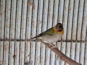 Kubafinken Henne