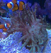 Meerwasser Lederkorallen Korallen Korallenableger