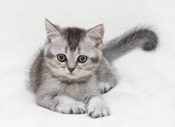 Britisch Kurzhaar Kitten Bkh In Baden Baden Katzen Kaufen Und Verkaufen Uber Private Kleinanzeigen