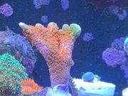 Montipora Bubblegum SPS Koralle Meerwasser