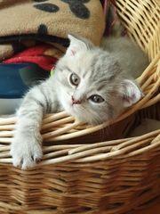 BKH Kitten zum Reservieren