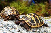 Griechische Landschildkröten Thb Nz 2018
