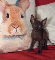 Reinrassige Kitten Don Sphynx mit