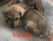 Vasili Shar Pai Mischlingsrüde ca