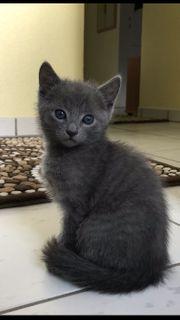 Reinrassige Russischblau Kitten