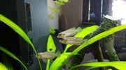 Fische Schneckenbarsch Lamprologus ocellatus
