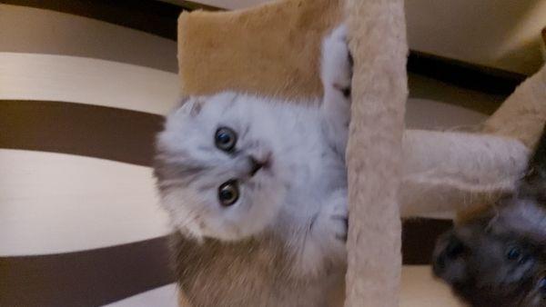 Skotisch Fold und BKH Kitten