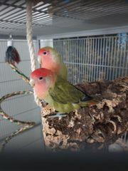 unzetrenliche love Birds rosenköpfchen