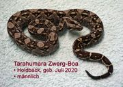 Boa constrictor imperator - Tarahumara Holdback