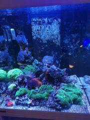 meerwasser Korallen Euphylia Weichkorallen lps