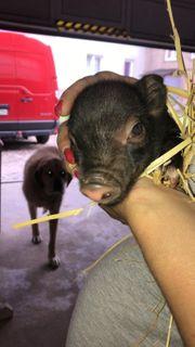 Minischwein Minipig