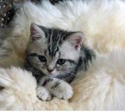 Bkh silver Kitten neu geboren
