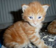 Maine Coon Kitten in rot
