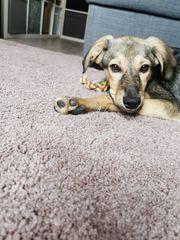 Liebevoller Junghund Welpe zu verkaufen