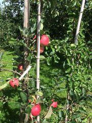 verkaufe Äpfel Eigenzüchtung gibt es