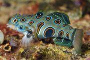 Meerwasser LSD Mandarinenfisch