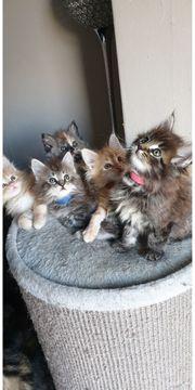 schöne Maine-Coon Kätzchen