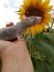 Ratten Babys männlich noch 2
