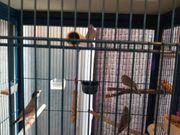 4 Finken mit Käfig Voliere