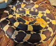 verschiedene Schlangen Arten abzugeben