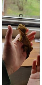 kronengeckos