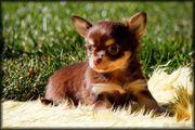 Hübschen Chihuahua Welpen abzugeben